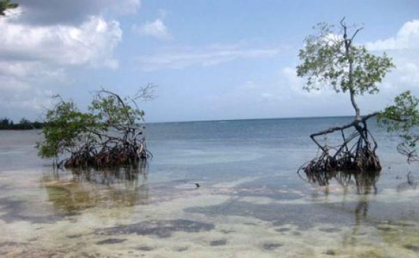 Two-Mangrove-Trees-488x326